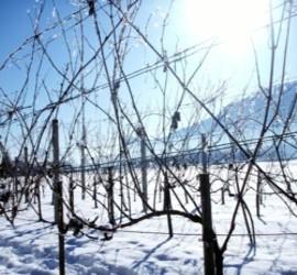 Weinrebe im Winter-Sorte Rösler